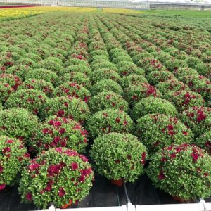 HOW TO GROW AND CARE FOR FALL MUMS